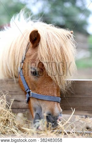 Pony Horse Eating Hay In Summer Corral Between The Hay Which Has Been Laid Out For To Eat