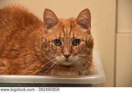 Ginger European Shorthair Cat Portrait Cat Close Up