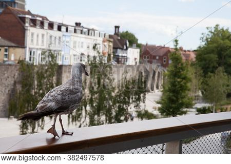 A Young Seagull Near The Town Wall In Southampton, Hampshire In The Uk, Taken On The 10th July 2020