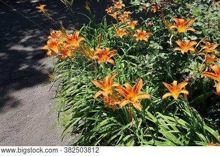A Lot Of Orange Flowers Of Hemerocallis Fulva In Mid June