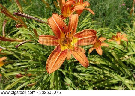 Close Shot Of Orange Flowers Of Hemerocallis Fulva In June