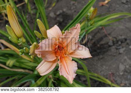 One Salmon Colored Flower Of Hemerocallis Fulva In June