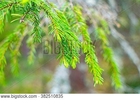 Fresh Green Fir Branches As A Background For A New Year Or Christmas Card.
