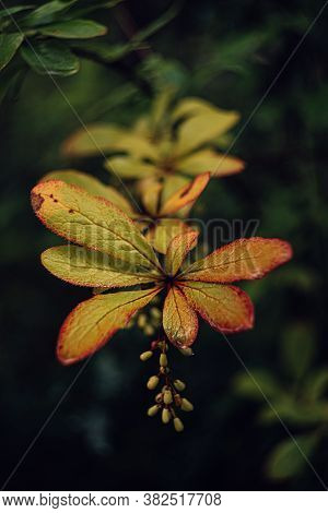 Barberry Green Yellow Leaves On Branch Dark Background