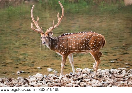 A Male Spotted Deer (axis Axis), Also Called The Chital And Native To The Indian Subcontinent Seen H