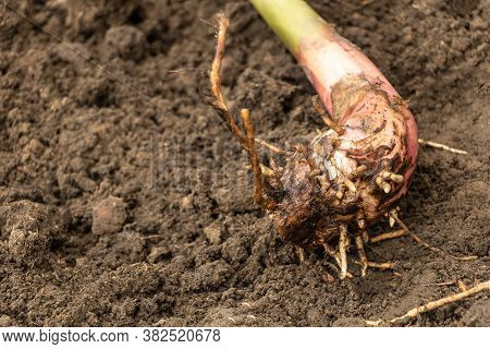 Banana Sucker With Good Root System. How To Plant Banana Trees Concept