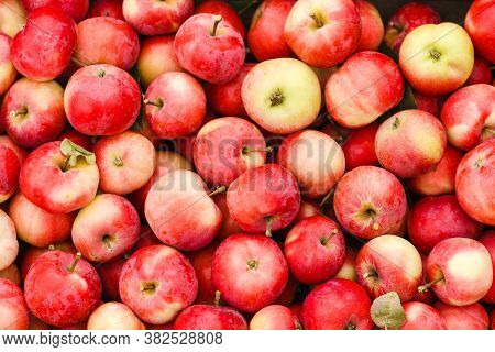 Just Picked Fruit. Background Of Red And Yellow Apples. Fruits Are Scattered. Harvested Crop Outdoor