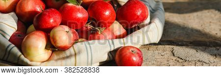 Just Picked Fruit. Canvas Bag With Red And Apples On Old Rustic Wooden Table. Fruits Are Scattered.