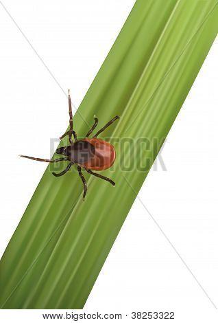 Illustration Of A Tick On Gras