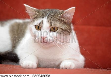 White With Brown European Shorthair Cat On A Red Background