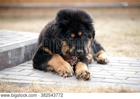 A Fluffy Mastiff Puppy Is Lying Nibbling A Wooden Toy And Looking At The Camera.