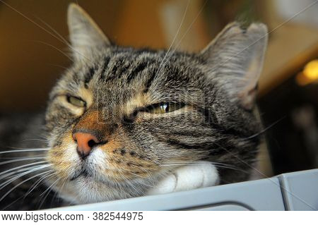 Tabby Cat Lies With Narrowed Eyes, Portrait