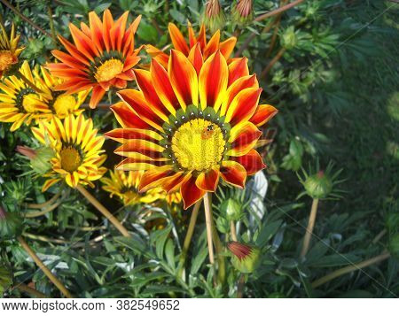 Gazania Flowers In A Garden, Red Yellow Flower