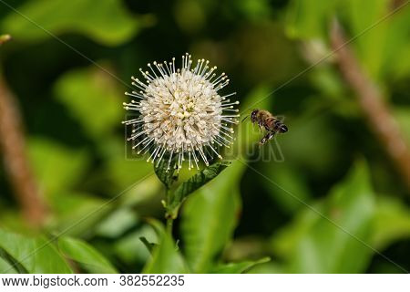 Honeybee With Its Legs Dangling Down As It Flies Close To A White, Spiked Flower On A Common Buttonb