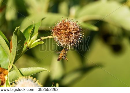 Honeybee Flying Under And Wilting Common Buttonbush Flower And Reaching Up To Grab Hold Of Its Spike