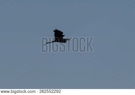 Great Blue Heron Flapping Its Powerful Wings Upward And Silhouetted Against The Morning Sky As It Gr