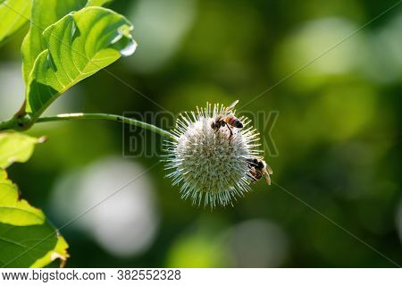 A Pair Of Honey Bees Busy Pollinating A Spiked Common Buttonbush Flower While Gathering Nectar And P