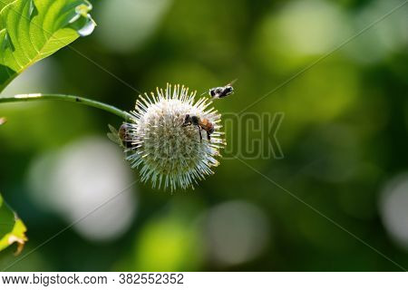 A Honeybee Flying By A Spiked Flower On A Common Buttonbush Plant As Two Other Bees Are Busy Gatheri