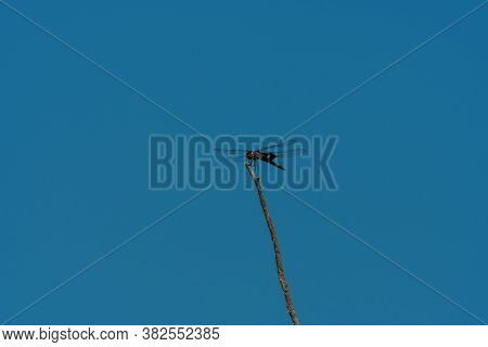 A Large Black Saddlebags Skimmer Dragonfly Perched Overhead On The Top Of A Skinny Stick As It Takes