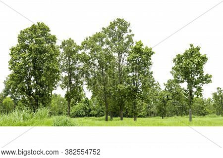 View Of A High Definition, Treeline  Isolated On White Background, Forest And Foliage In Summer, Row