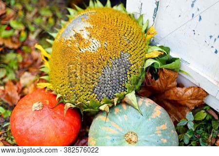 Two Orange And Green Pumpkins Lie On The Grass With A Sunflower And Black Seeds Near A White Vintage