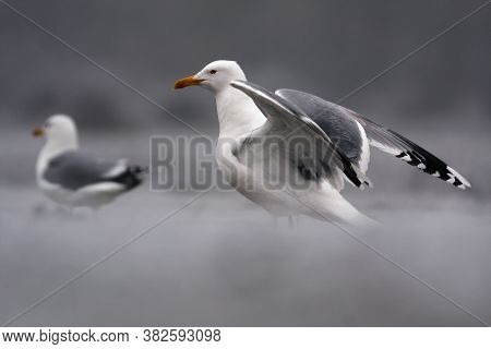 The Great Black-backed Gull (larus Marinus), Also Known As The Greater Black-backed Gull Has Open Wi