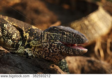 The Nile Monitor (varanus Niloticus), Portrai With Open Jaws