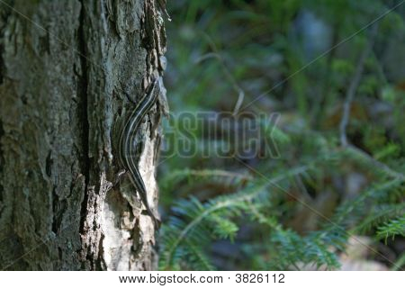 poster of A five lined skink on the base of a tree.