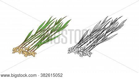 Ginger Root, Chopped Rhizome, Fresh Plant. Vector Engraved Hand Drawn Sketch. Pieces Of Ingredient S