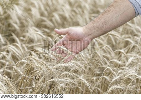 Big Hand Of A Male Farmer Is Touching Ears Of Wheat On The Agricultural Field. Agricultural Growth A