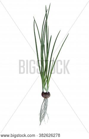 Planting Spring Onion By Shallot In A Water Isolated On White Background Included Clipping Path.