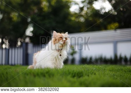 The Cute Persian Cat Sitting On A Green Grass Field, And Looking Something, Selective Focus Shallow