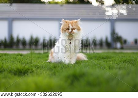 The Cute Persian Cat Sitting On The Green Grass Field, And Looking At Camera, Selective Focus Shallo
