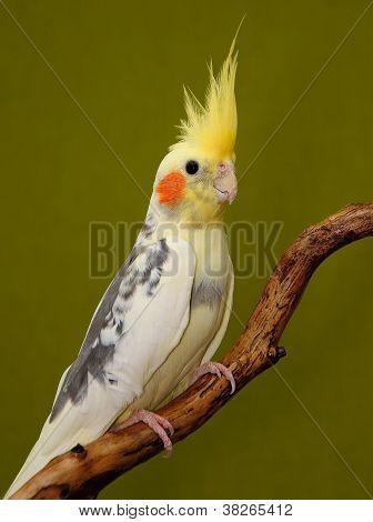 cockatiel parrot