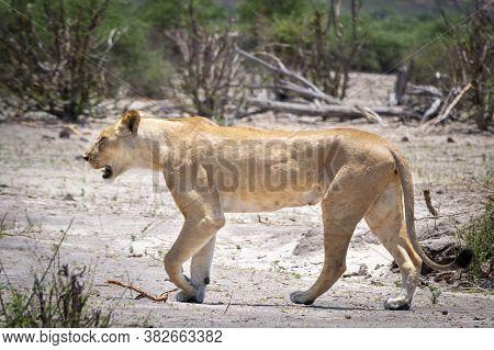 Female Lion Majectically And Self-assured Walking The Barren Landscape Of Chobe National Park, Botsw