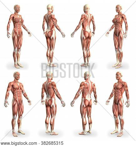 8 Hi-res Images In 1, Male And Female Bodies With Muscle Map - Physiology Concept For Healthcare - C