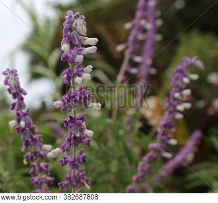 Lavender Lavandula Angustifolia Royal Velvet, Shaggy Lilac And White Flowers