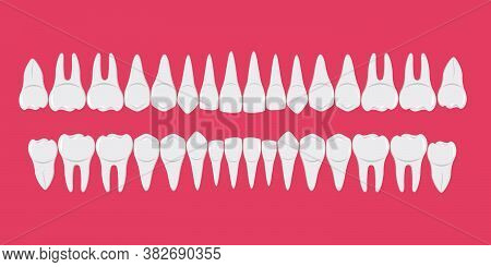 Healthy White Human Teeth In A Row. Beautiful, Even Teeth With Roots. Infographic Elements For Denti