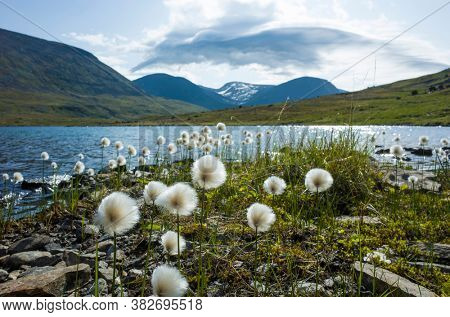 Arctic cotton grass fluffy flowers next to lake in Swedish Lapland. Northern Sweden mountains environment in summer day