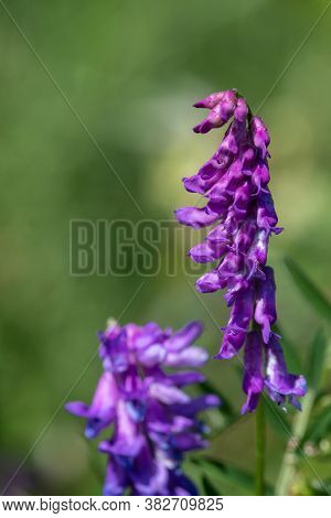 Tufted Vetch (vivia Cracca)