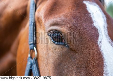 Close-up Of A Bay Horse's Eye In A Blue Halter