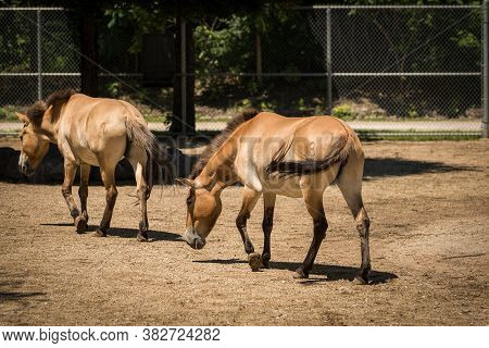 Two Brown Horses In A Horse Corral On A Sunny Day
