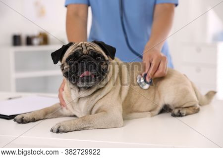 Veterinarian Examining Cute Pug Dog In Clinic, Closeup. Vaccination Day