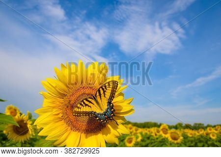 Yellow Swallowtail On A Sunflower In A Field In Midwest United States.