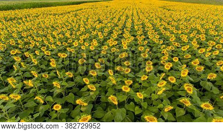 Aerial Of Rows Of Sunflowers In A Field In Rural Illinois