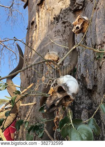Baboon Skull And Hadza Handcrafts Of Bone Dangling From The Trunk Of A Baobab Tree In Tanzania.