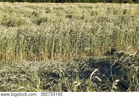 Yellowing Wheat In Summer, A Field Of Agricultural Cereals That Are Almost Ripe And Ready For Harves