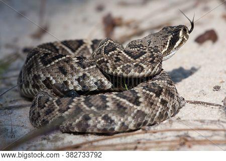 Coiled Eastern Diamondback Rattlesnake Flicking Tongue Ready To Strike