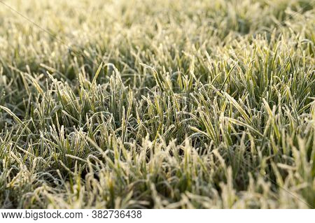Grass Covered With Ice Crystals And Frost During Winter Frosts In Sunny Weather, Details On The Fiel