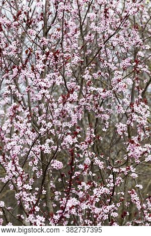 Bright Beautiful Flowers Of Red Cherry Blossom In The Orchard, Beautiful Pink Flowers In Spring Or S